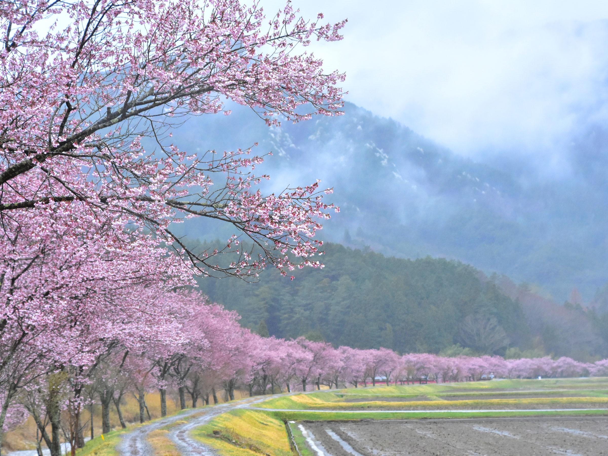 【愛知県】春の絶景・風物詩5選 カーブを描きどこまでも続く桜並木