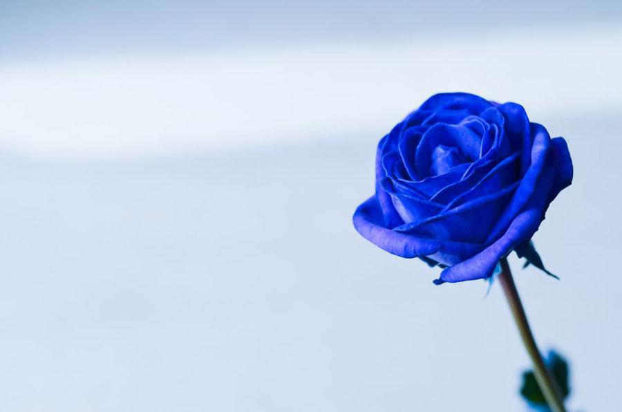 森 あつ 青い バラ