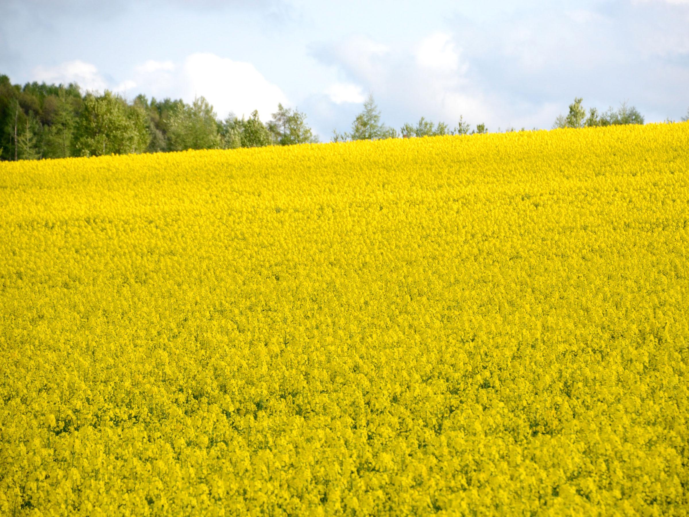 【北海道】春の絶景・風物詩4選 黄色の世界がはてしなく続く夢の景色