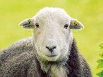 羊のまなざしに癒される!